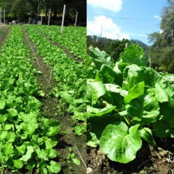Vegetable farms in Bukit Tinggi – Pahang State
