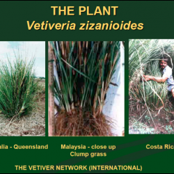 Vetiver – for holding the earth