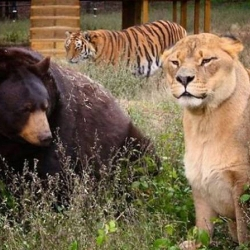 "Bear: ""The Tiger's My Friend!"""