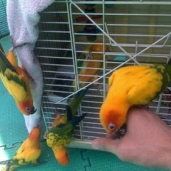 New Sun Conure Report