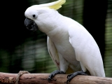 DROLKAR is a female Cockatoo which was found hidden from view in a dark corner at the back of a pet shop. Drolkar was one of the first birds to be liberated by Kechara's founder and spiritual guide, H.E. Tsem Tulku Rinpoche, and the starting point of Kechara's animal rescue activities.