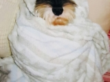 I wrapped my little Mumu boy up in my blanket and propped him up on my bed. He didn\'t move or wiggle and just looked at me. He is one funny entertaining little guy. Tsem Rinpoche