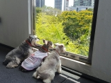 Left to right: Dharma boy, Mumu boy and Oser girl. The three of them are my beautiful and loved Schnauzer dogs. They loved looking through the window to see traffic, people and movement. They loved the smells that drifted through their little noses. I love seeing the three of them together like this. I love them. Tsem Rinpoche