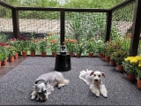 My Dharma boy (left) and Oser girl loves to laze around on the veranda in the mornings. They enjoy all the trees, grass and relaxing under the hot sun. Sunbathing is a favorite daily activity. I care about these two doggies of mine very much and I enjoy seeing them happy. They are with me always. Tsem Rinpoche