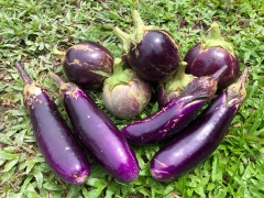 Fresh eggplants grown on Kechara Forest Retreat\'s land here in Malaysia