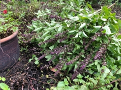 Fragrant organic Thai basil harvested from our very own Kechara Forest Retreat farm!