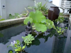 Added a serene beautiful Buddha on the pond for the fish. The pond is next to my sliding glass door. They can swim around in circumambulation and plant seeds of liberation in their mindstreams. I love when animals are ok and get blessings. Just seeing the holy form of a Buddha is tremendously beneficial.