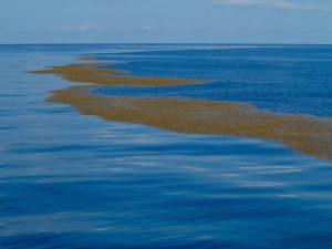 Sargasso-Sea