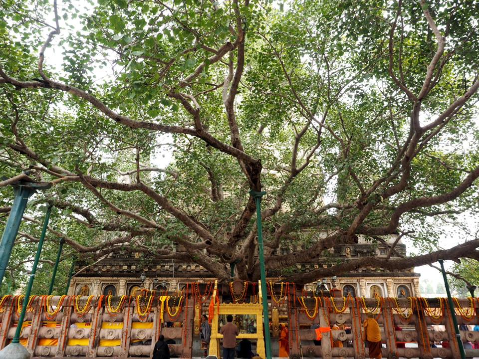 The descendant of the original Bodhi tree that the Buddha sat under to become enlightened.