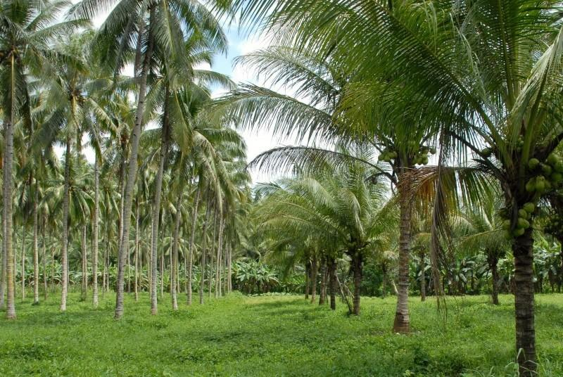 A typical coconut plantation in Goa.