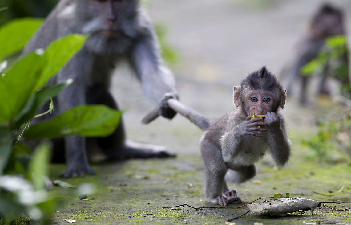 A baby crab-eating macaque explores the world while its mother protectively holds on to its long tail. (Source: jungledragon.com)