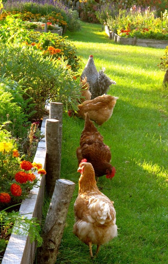 I have chickens in the garden and they are entertaining to watch cluck around the grass. And there are no snakes here to be attracted.