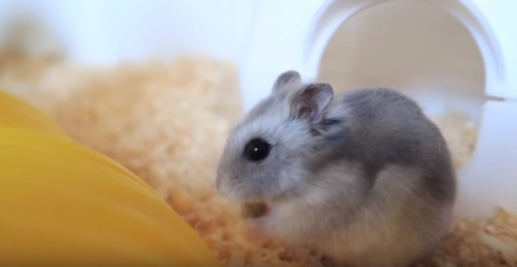 Russian Winter White Dwarf Hamster. Image credit; ErinsAnimal (youtube). Click on image to enlarge.