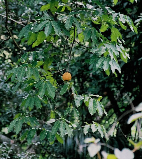 Malombo Plant and Fruit. Click to enlarge